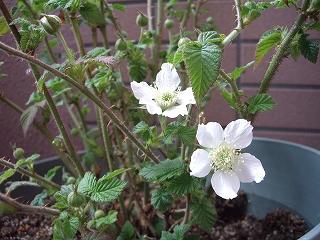 s-ラズベリーの花