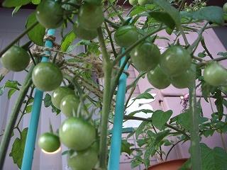 s-トマトです