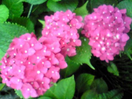 念願の紫陽花1