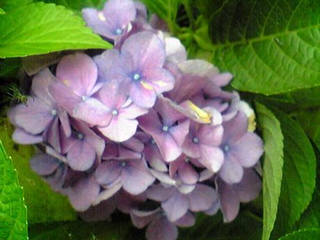 念願の紫陽花2
