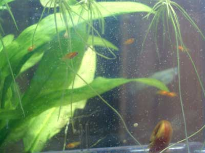 赤プラティ稚魚1