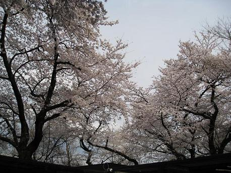 2008 夢見ヶ崎のサクラ