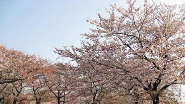 2008 南河原の桜