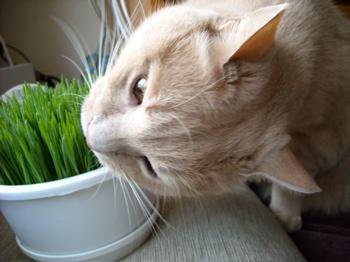 かぶりつきくう、猫草1