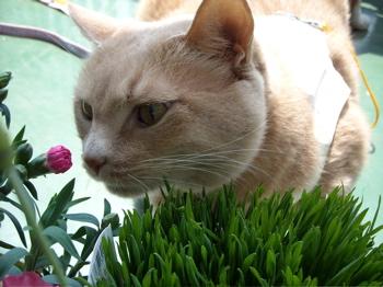 かぶりつきくう、猫草2