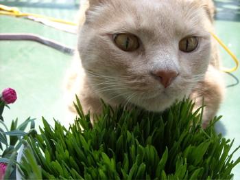 かぶりつきくう、猫草4