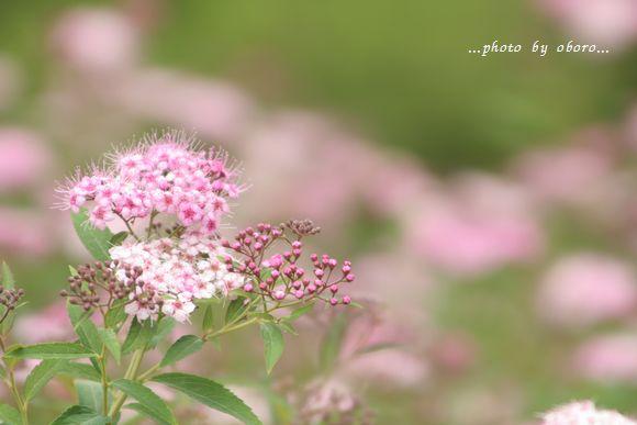 夏の花たち 022 ピンクの花
