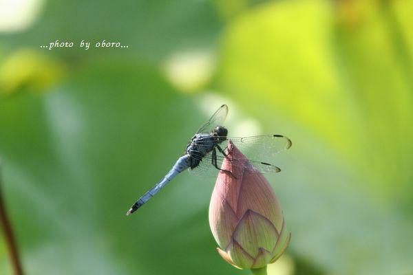 大賀蓮と蜻蛉