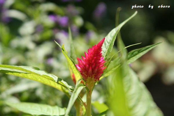8月3日 006 鶏頭の花