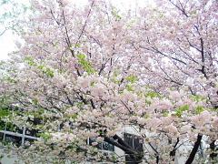図書館の桜
