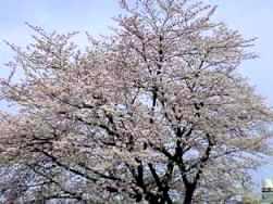 幼稚園後の桜