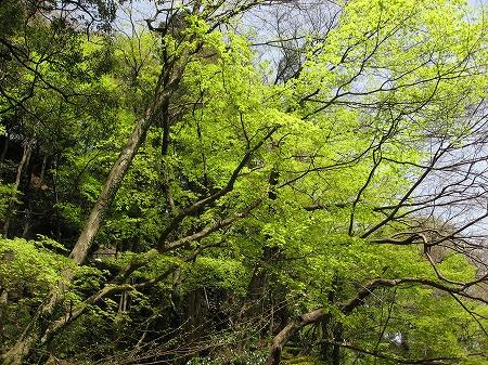 養老の滝の新緑