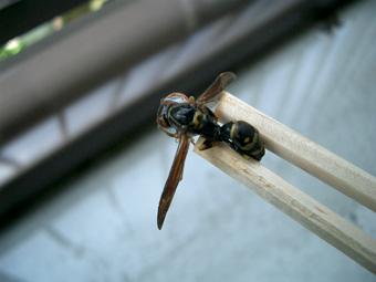 蜂退治の蜂