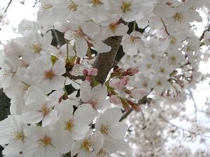 2桜アップ