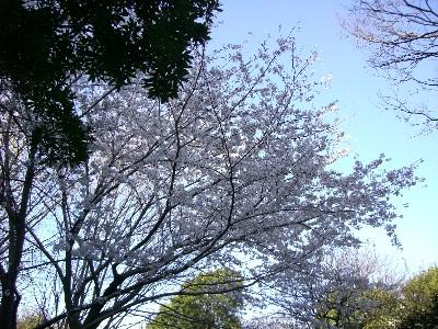 12朝日の中の桜