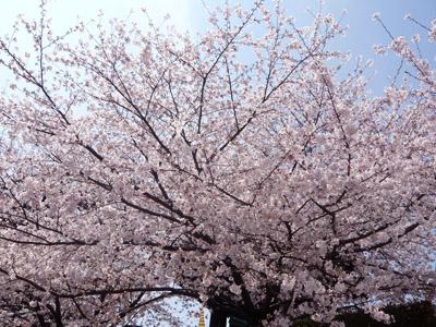 桜と吐き気とコーヒーと