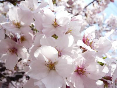 桜と吐き気とコーヒーと 2