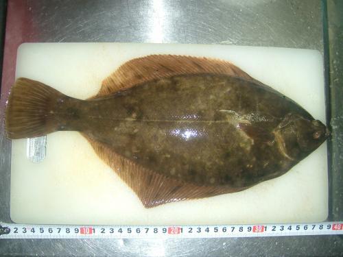 マコカレイ39cm2