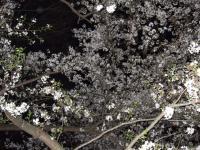 名城公園の桜2008.4.5
