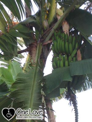 ルワンダバナナの木