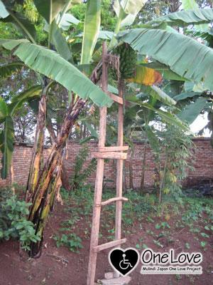 ルワンダバナナの木2