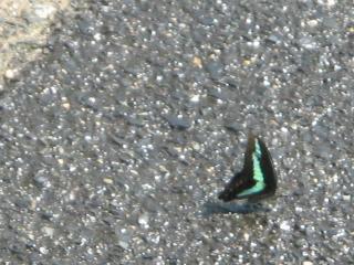 水を求める蝶