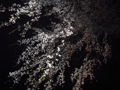 2008 04 01 sakura