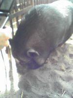 いちご 黒豚