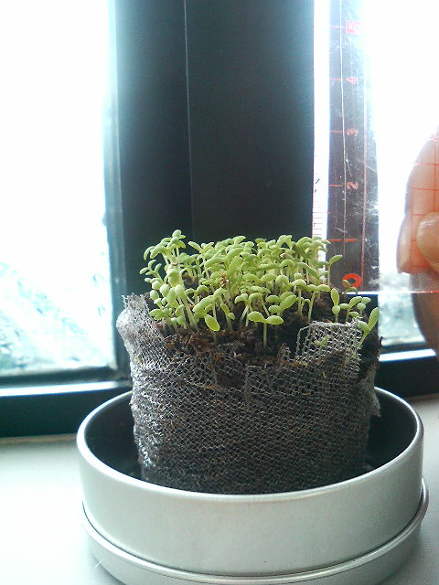芽が順調に成長(H20年5月29日)