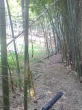 東泉丘の竹やぶ