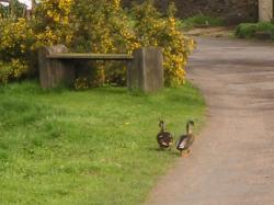 ducks4.03