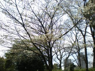 辰巳の森の桜