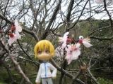 blog用カイコーチ桜