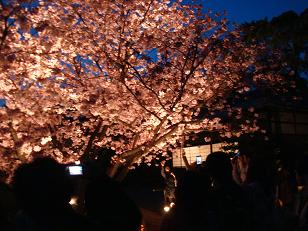 いろんな種類の桜があった