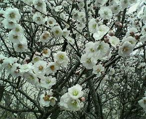 梅の花がたくさん