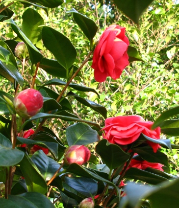 裏側で咲く椿