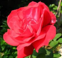 今年も名も知れぬ真っ赤な薔薇