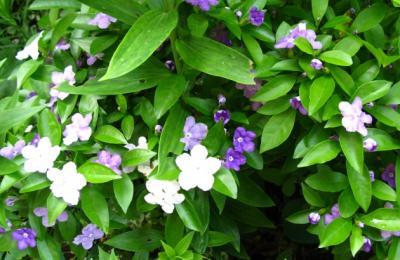 茉莉花、、匂いバンまつり