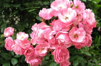 房咲きのアンジェラ