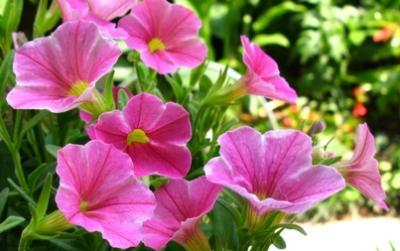 ペチュニア系の小花2