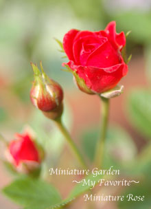 Miniature Rose2