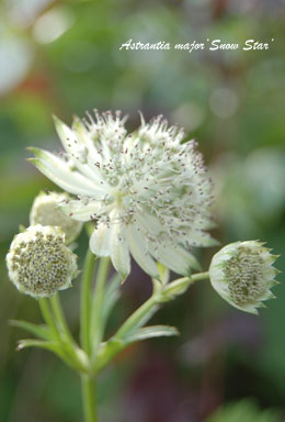 Astrantia major'Snow Star'2