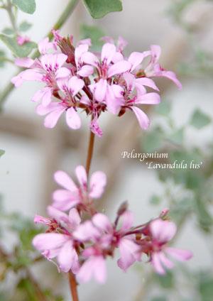 pelargonium labandula