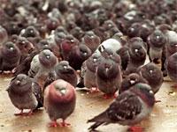 鳥の巣で住宅に大きな被害