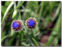 青い花-2-