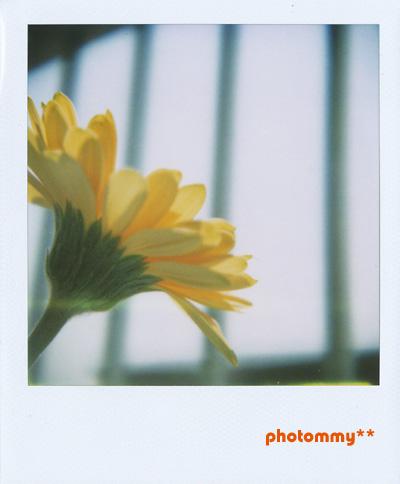 黄色ガーベラ