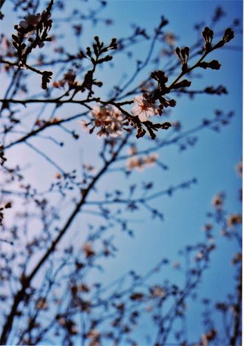 sakura200804.jpg