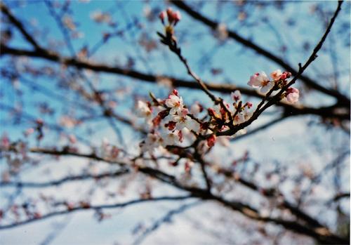 sakura20080401.jpg