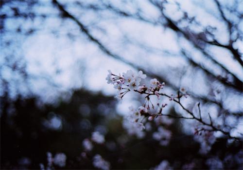 sakura200804011.jpg