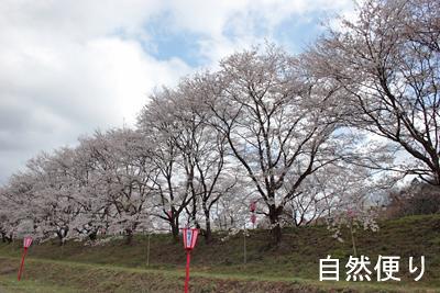 トンネル桜1